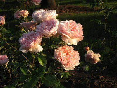 Кустарниковая роза заказать