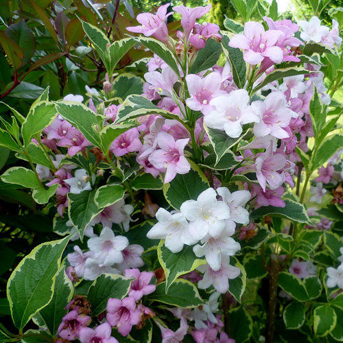 weigela florida nana purpurea. Black Bedroom Furniture Sets. Home Design Ideas