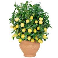 Лимо́н (Citrus limon)