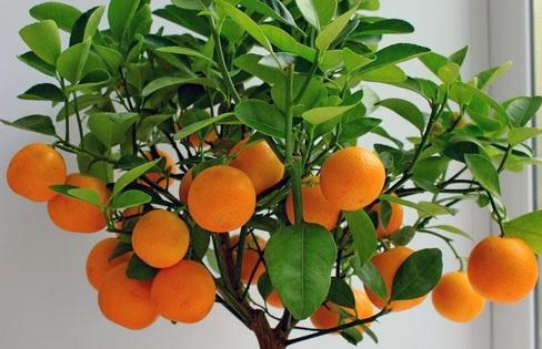 Мандарин Citrus reticulate